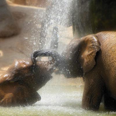 Coppia di elefanti al bioparco di Valencia