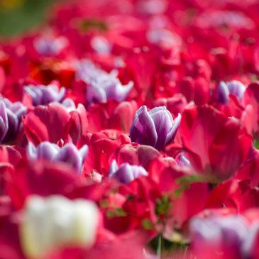 Tulipark Roma